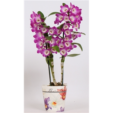 Dendrobium Nobile Wonderfull (paars) 2 tak 12+tros in potcover