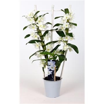 Dendrobium nobile Starclass Apollon 2 tak 12+tros op wit rekje