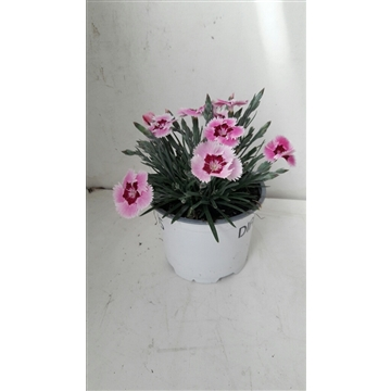 Dianthus Candy
