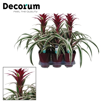Guzmania Purple & Stripes Paars Luxe Keramiek (Decorum)
