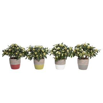 Shades of Natures - Azalea 12 cm Wit in pot Amelie