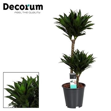 Drac Compacta 45-15 cm stam (Decorum)
