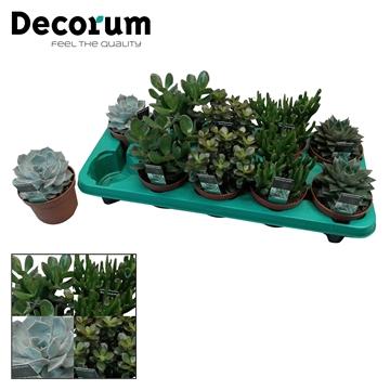 Succulenten mix 5 soorten