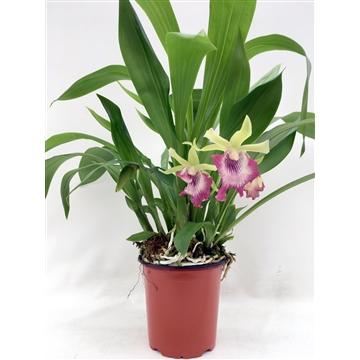 Cochleanthes Hybride, 12cm pot, 4-6 flowers