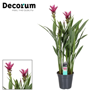 Curcuma Siam Sunset 2 flower +