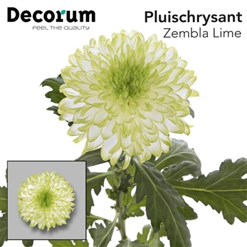CHR G ZEMBLA LIME Decorum