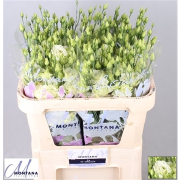 Lisianthus Alissa green