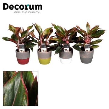 Collectie Shades of Nature - Aglaonema Crete in pot Amelie (Decorum)