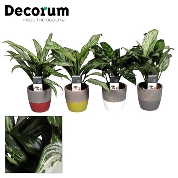 Collectie Shades of Nature - Aglaonema gemengd in pot Amelie (Decorum)