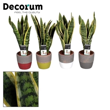 Collectie Shades of Nature - Sansevieria Laurentii in pot Amelie (Decorum)