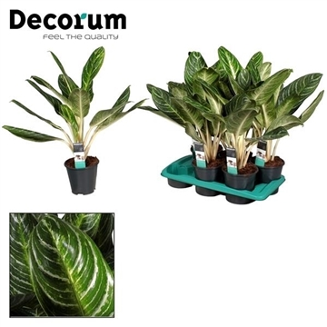 Aglaonema Keylime (Decorum)