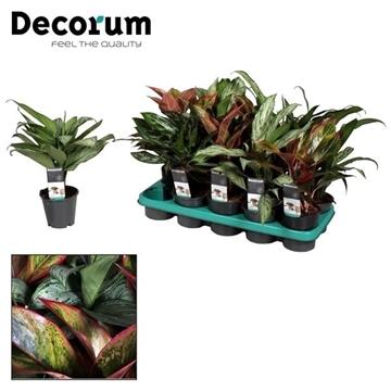 Aglaonema gemengd deluxe (Red & Green) (Decorum)