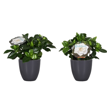 Gardenia 9 Julia pot Antraciet