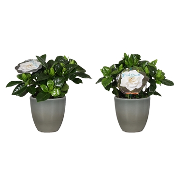 Gardenia 9 Julia pot ArmyGreen