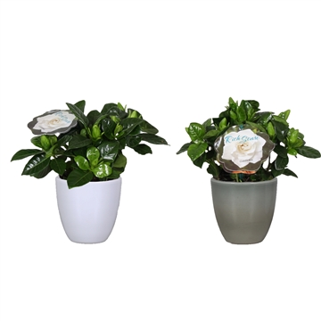 Gardenia 9 Julia White/ArmyGreen