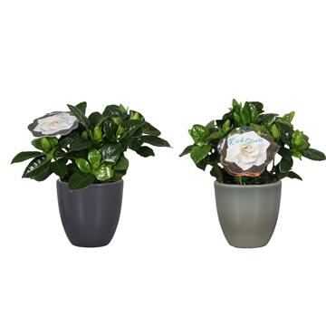 Gardenia 9 Julia Antraciet/ArmyGreen