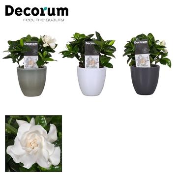 Gardenia 9 cm Julia White/Antraciet/ArmyGreen