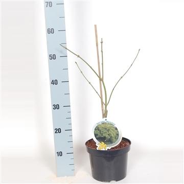 Acer palm. Dissectum 30-40 C3