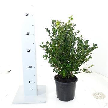 Buxus microphylla 'Faulkner' 30-35cm struik