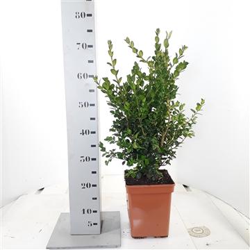 Buxus sempervirens 'Rotundifolia' 40-50cm c5