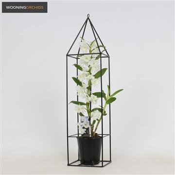 Dendrobium nobile apollon 1 tak in draad frame, 6+ tros, 50-60 cm