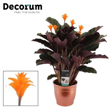 DECORUM-Calathea Crocata 5/6 Brons Keramiek