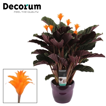 Calathea Crocata Candela 5/6 in paars bolpot DECORUM