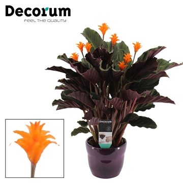 Calathea Crocata Candela 7/8 in paars bolpot DECORUM
