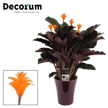 Calathea Crocata Candela 5/6 in paars keramiek DECORUM