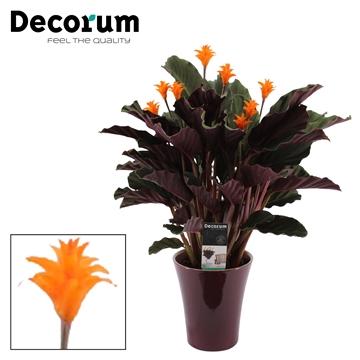 Calathea Crocata Candela 7/8 in paars keramiek DECORUM