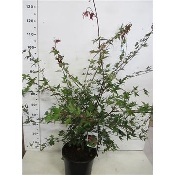 Acer palmatum Deshojo 80-100 P28