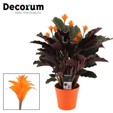 Calathea Crocata Candela 7/8 in oranje keramiek DECORUM