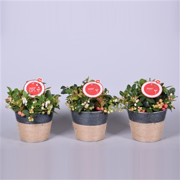MoreLIPS® Gaultheria Big Berry, in pot Sofia zink, met jute touw, P13