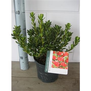 Rhododendron (AJ) Geisha Red
