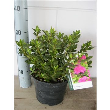 Rhododendron (AJ) Geisha Purple