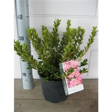 Rhododendron (AJ) Geisha Pink