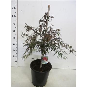 Acer palm. Garnet 40-50 C10