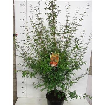 Acer palm. Wilson's Pink Dwarf 100-125 C10