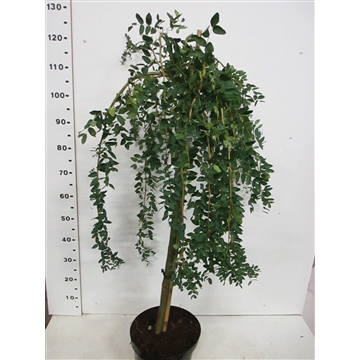 Caragana arb. Pendula 80st. C7.5 2 jr. kr.