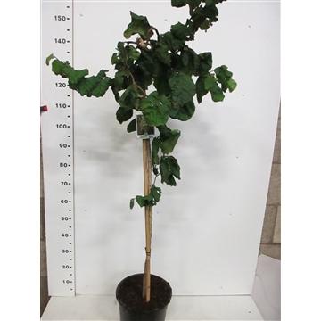 Corylus a. Contorta 100st C10