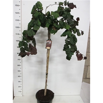 Corylus a. Red Majestic 100st P28