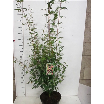 Acer palm. Oridono Nishiki 125-150 P32