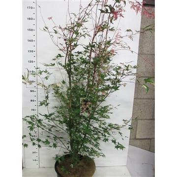 Acer palm. Oridono Nishiki 150-175 P34