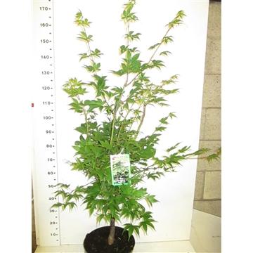 Acer palm. Osakazuki 100-125 P32