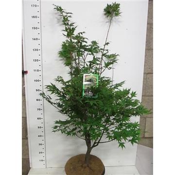Acer palm. Osakazuki 125-150 P34
