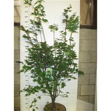 Acer palm. Osakazuki 150-175 P38