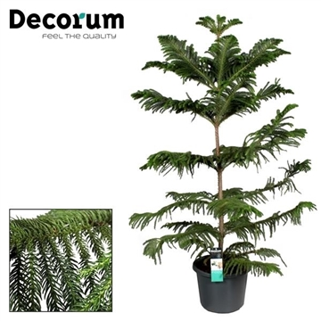 Araucaria Heterophylla single stam (Decorum)