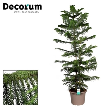 Araucaria Heterophylla single stam 190-200 cm (Decorum)