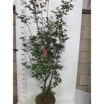 Acer palm. Pixie 150-175 P34