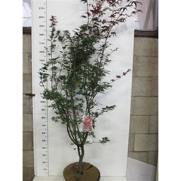 Acer palm. Pixie 175-200 P38